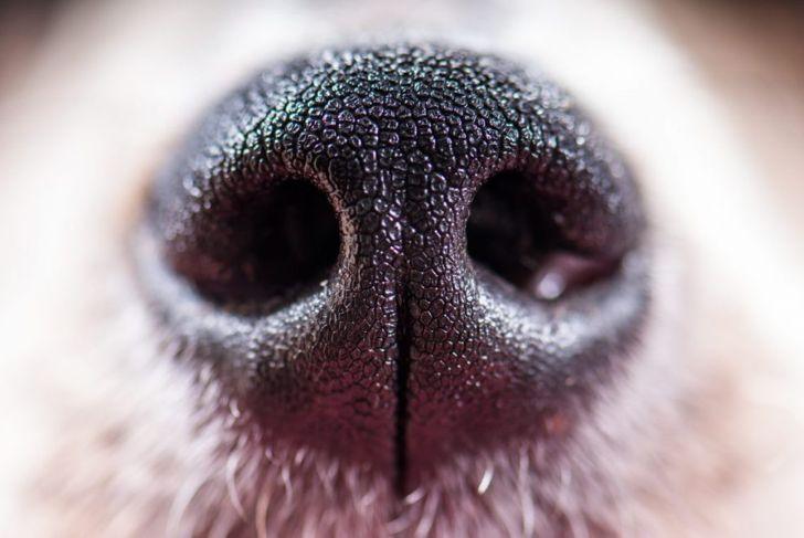 dog, nose, smell, senses