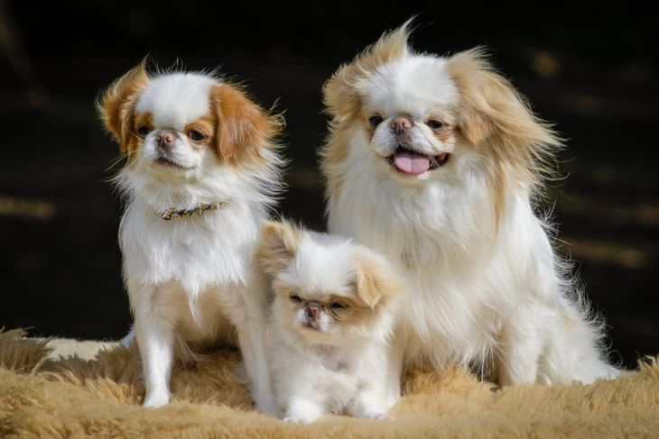 japanese chin canine