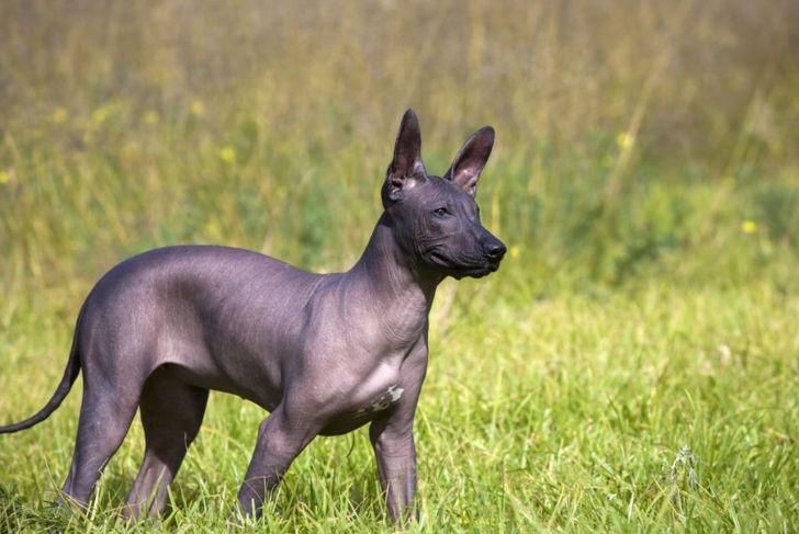 Xoloitzcuintli puppy
