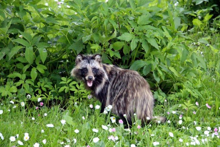 Tanuki in the wild