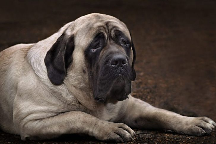English Mastiff Large Breed
