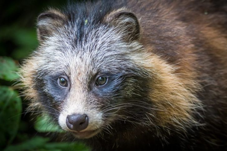 Close up of raccoon dog