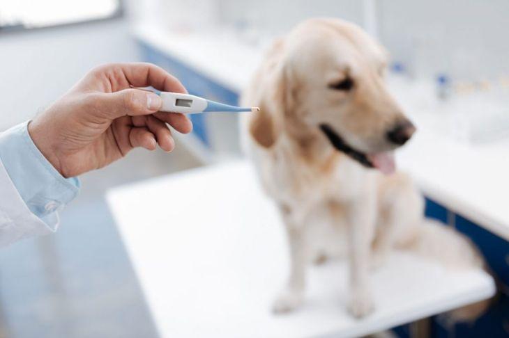 Thermometer veterinarian yellow Labrador