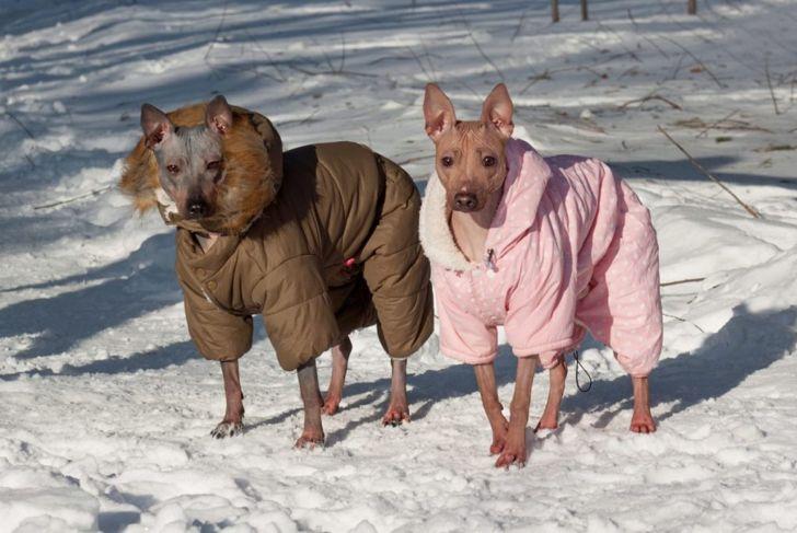 Hairless Terriers wearing winter coats