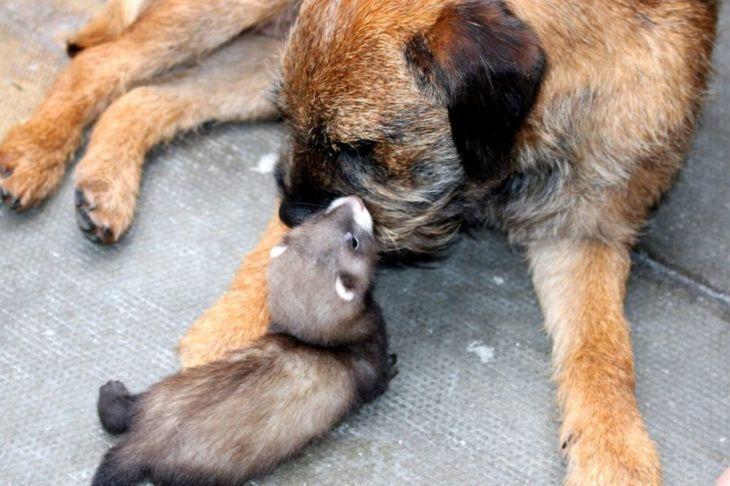 Dog and ferret socializing
