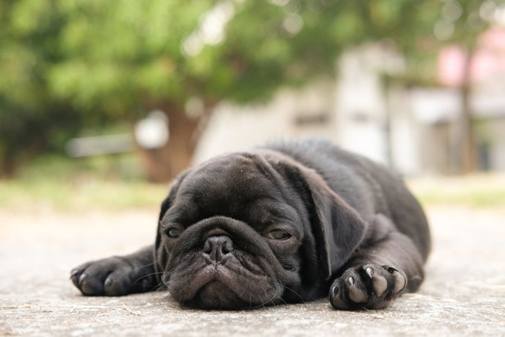 Heat Stroke symptom of pug dog because high temperature in very hot day