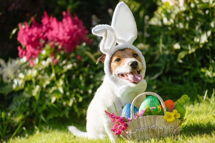Funny dog wearing easter bunny costume and festive basket with multicolored eggs