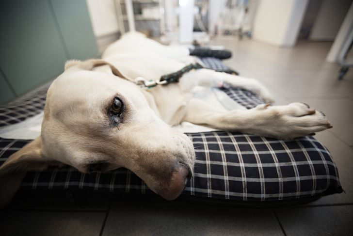 Ill labrador retriever in veterinary clinic