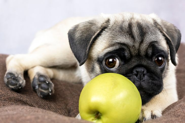cute funny dog ​​lies with a green apple