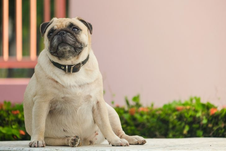 Fat pug dog sitting on marble floor
