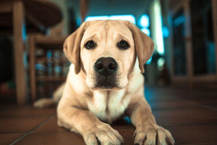 Portrait of a young Labrador Retriever looking into camera