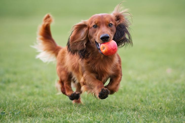 happy dachshund dog playing with an apple outdoors
