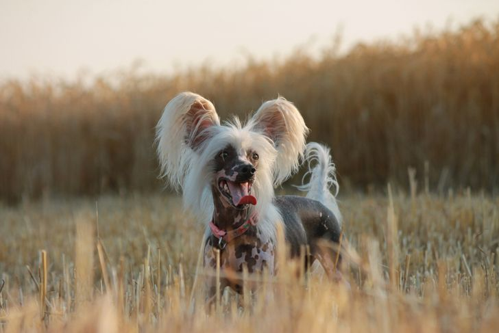 Chinese crested dog on the field