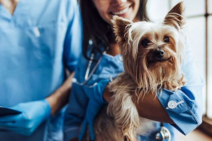 Cropped image of handsome doctor veterinarian and his attractive assistant at vet clinic are examining little dog Yorkshire Terrier