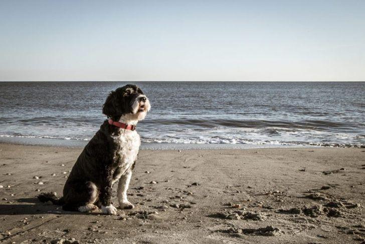 Portuguese Water Dog Beach