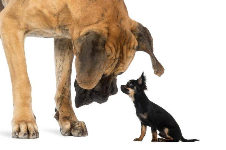 great dane looking at chihuahua