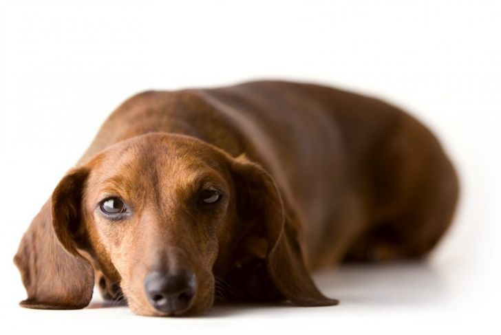 breeds diagnosed dachshunds