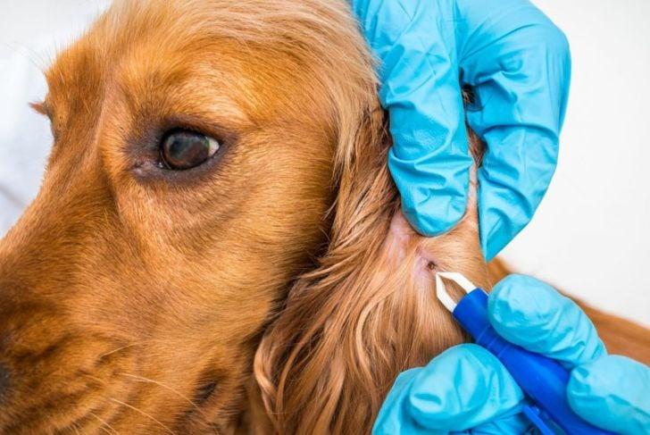 lyme disease dog