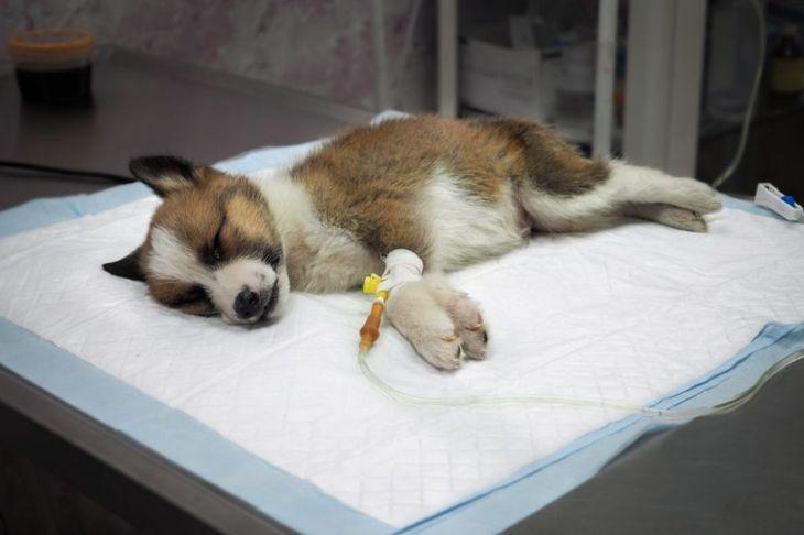 parvovirus vulnerable veterinary