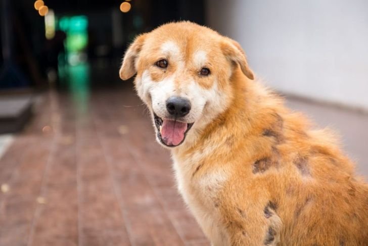 Stray dog skin disease. Leprous dog.