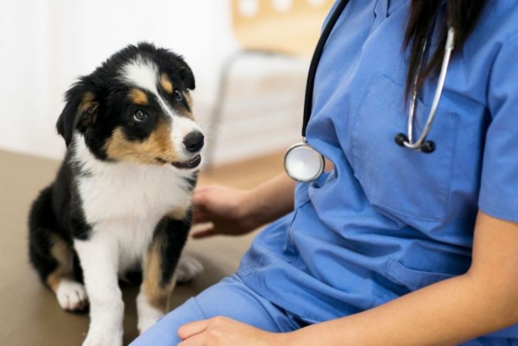 Adorable border collie puppy looks at a stethoscope hanging from the neck of a veterinarian sitting beside the puppy.