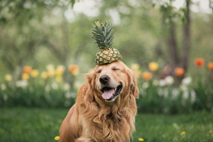 golden Retriever in flowers holds pineapple on the head