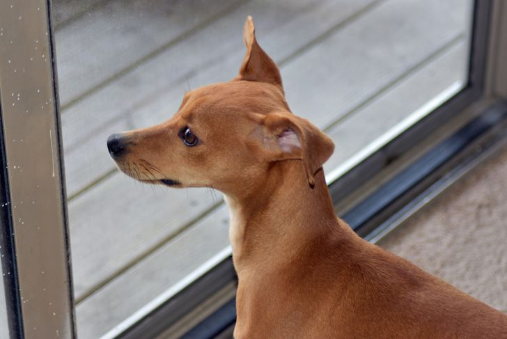 An Italian Greyhound curiously looking out the window, waiting to go outside.
