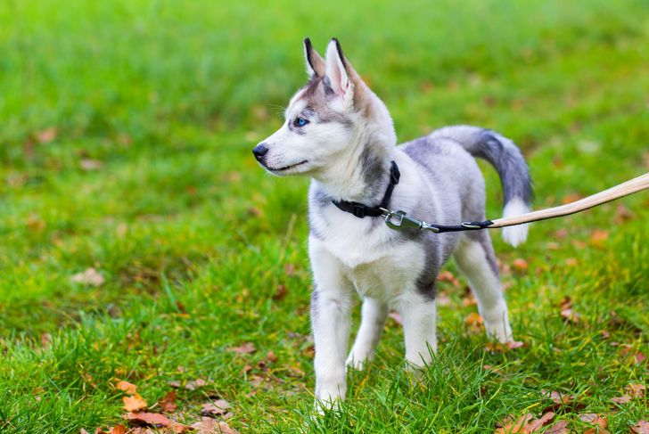 Leashed young Husky dog  standing in green meadow. The beautiful pet is walking in nature on a grass field. The animal is standing and looking away from the camera.