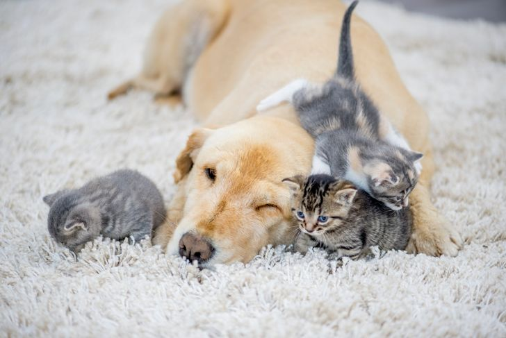 A golden retriever dog and three kittens are indoors in a living room. They are playing on the floor together. One kitten is climbing on the dog and one of the other kittens.