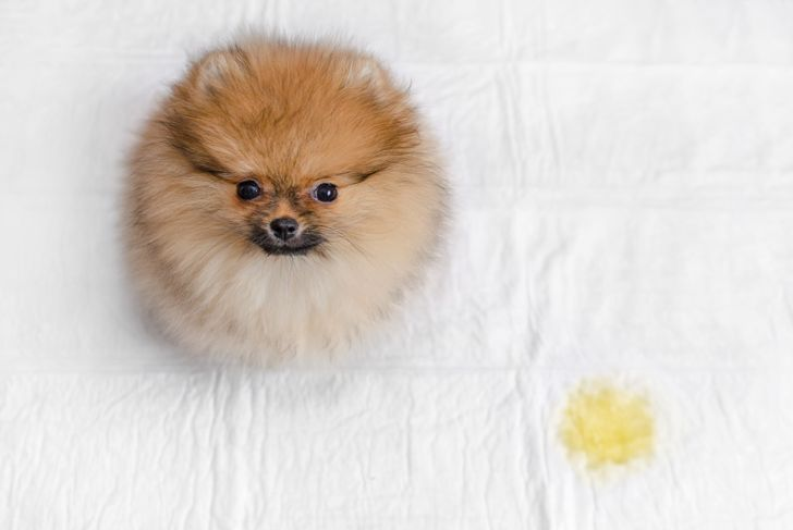 fluffy pomeranian puppy and urine puddle, top view