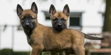 Is the Belgian Malinois the Perfect Dog for You?