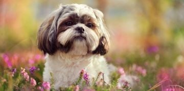 What is Good and Bad about Shih Tzus?