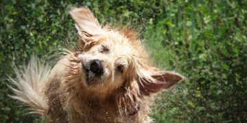 Why Do Dogs Shake?