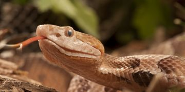 What are Copperhead Snakes?