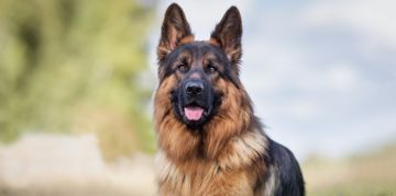 All You Need to Know About German Shepherds