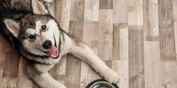 The Alaskan Malamute: Big, Playful, and Furry