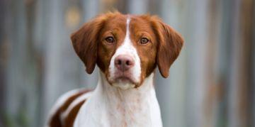 Popular Medium-Sized Dog Breeds