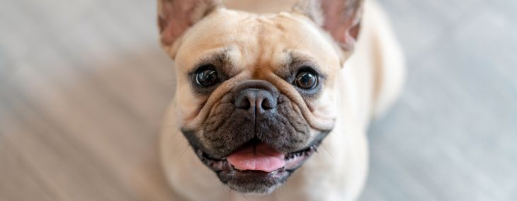 A French Bulldog Could Be Your Best Friend
