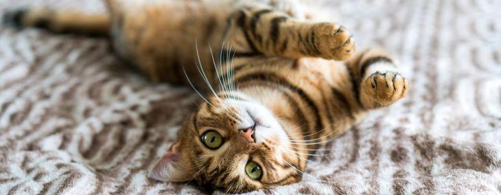 Do Bengal Cats Make Good Pets?