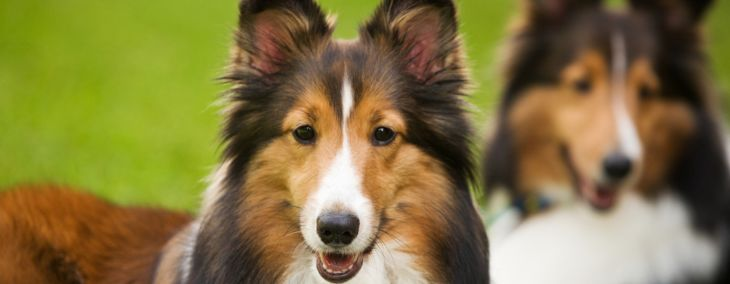 All About the Shetland Sheepdog