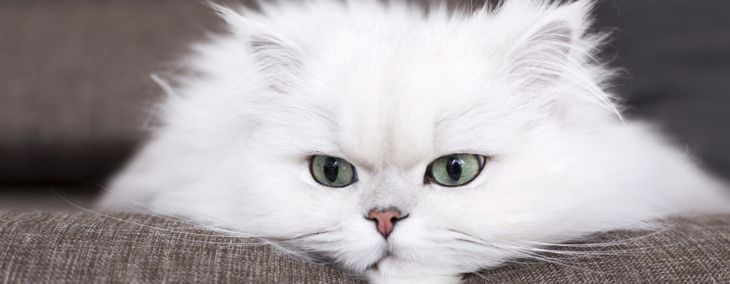 What's Good and Bad About Persian Cats?