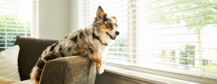 The Pros and Cons of Australian Shepherds