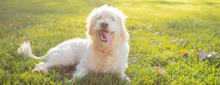 The Best Hypoallergenic Dog Breeds