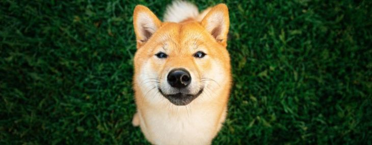 The Shiba Inu: Big Attitude in a Small Package