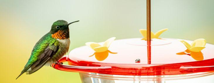 How to Start Feeding Hummingbirds