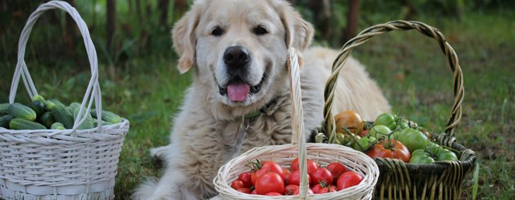 Are Tomatoes Safe for Dogs?