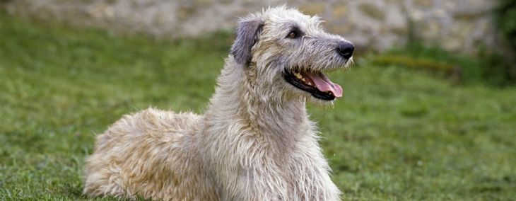 Is an Irish Wolfhound Right for Your Family?