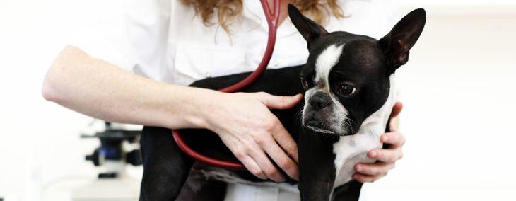 Understanding Heart Murmurs in Dogs