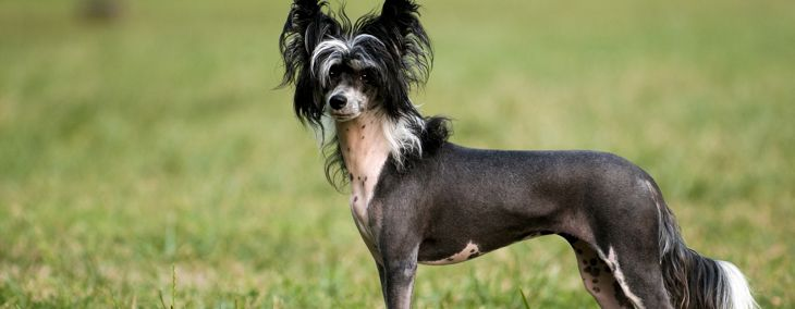 Hairless Dog Breeds and How to Care for Them
