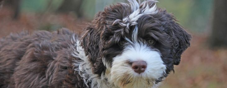 A Portuguese Water Dog Could Be Your Next Best Friend